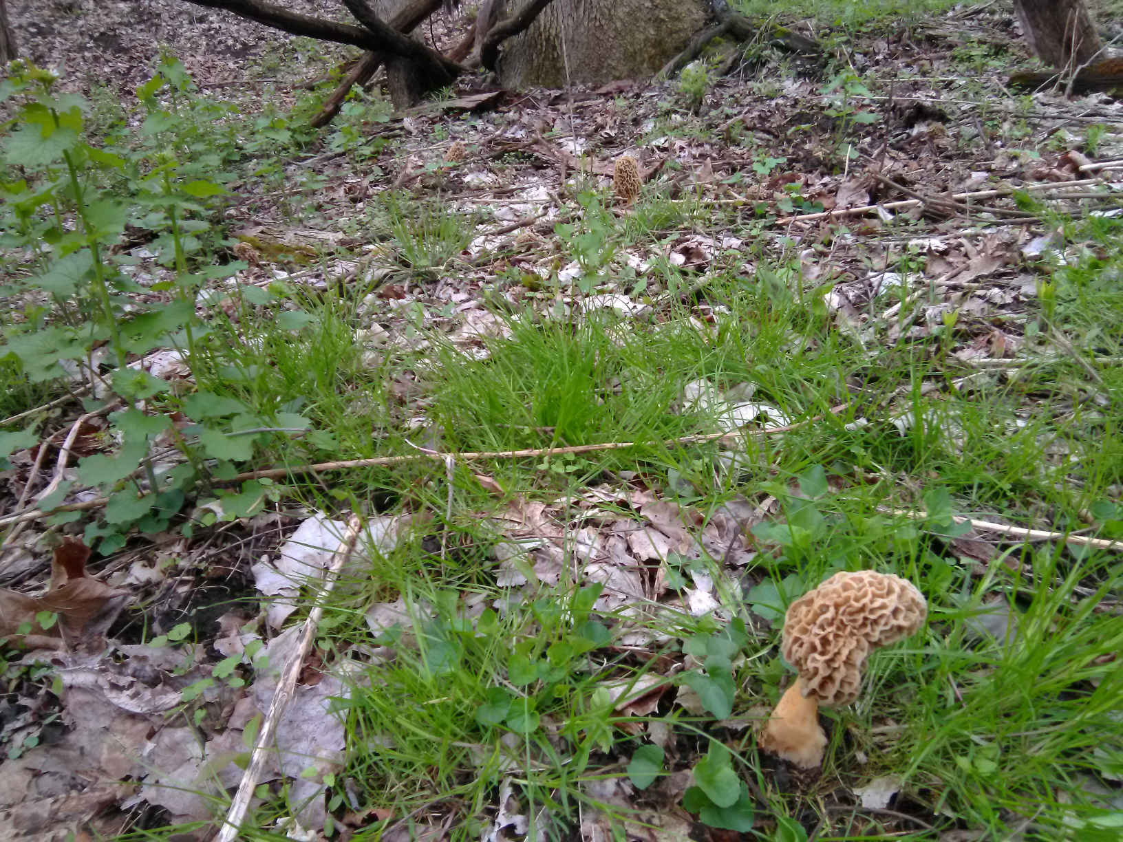 Virtual Morel Foraging with R